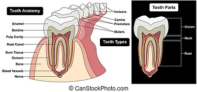 Human Tooth Cross Section Anatomy Diagram including enamel...