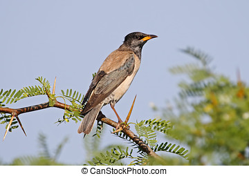 Rosy Starling Pastor roseus Birds of Thailand