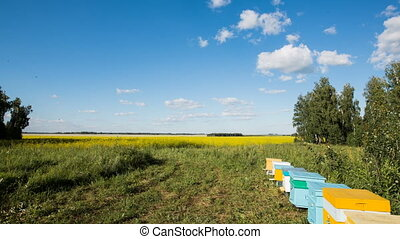 Timelapse of apiary and flying bees on blossom yellow field...