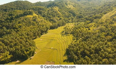 Aerial view of a rice field. Philippines, Bohol. - Rice...