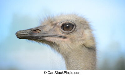 Portrait of ostrich bird head.