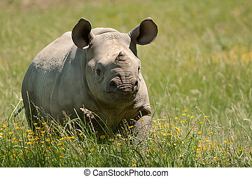 young rhino walking in grass