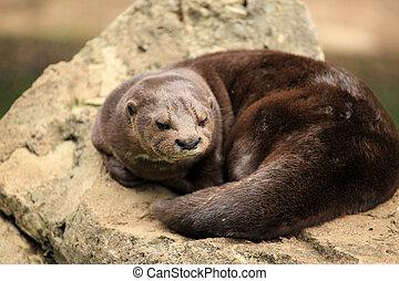 Otter - African Wildlife - Otter - Wildlife in Uganda,...