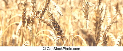 Blurred golden background with wheat ears