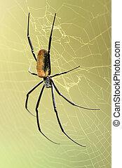 Nephila Spider - African Wildlife - Nephila Spider -...