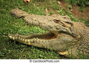 Crocodille - African Wildlife - Nile Crocodille - Wildlife...