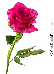 Single rose - Single pink rose in vertical isolated over...