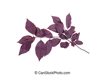 Purple plum leaf isolated on a white background. Red leaves....