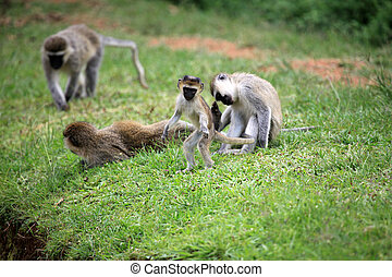 Vervet Monkey - African Wildlife - Vervet Monkey - Wildlife...