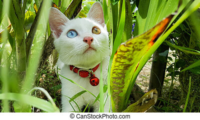 cat with two color eyes blue and yellow in brushwood
