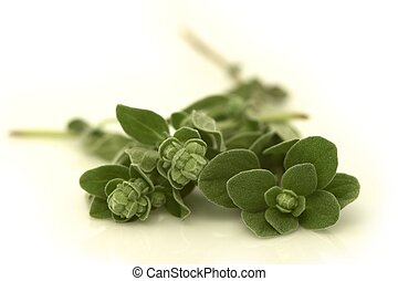 Oregano - Fresh, aromatic Oregano Origanum vulgare Shot on...