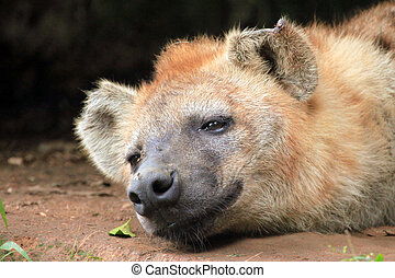 Hyena - African Wildlife - Spotted Hyena - Wildlife in...