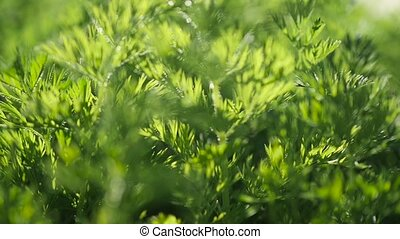 macro grass, camera in motion. Alternating focus, bokeh -...