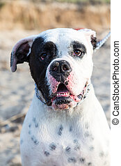 Mexican American Bulldog at the beach - cute expression on...