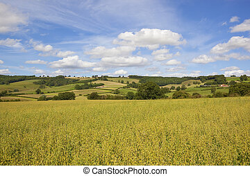 yorkshire wolds oats - green golden oat field in the...
