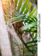 Tarsier Bohol, Philippines, closeup portrait, sits on a tree...
