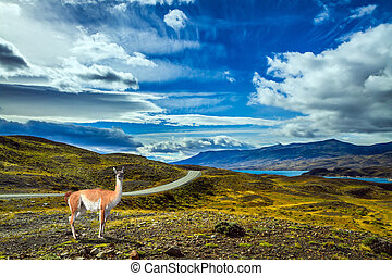 Guanaco is in Torres del Paine Park - The gravel road goes...