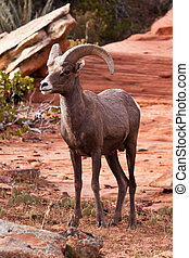 Desert Big Horn Ram Sheep in Utah's Zion National Park
