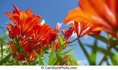 Bush of orange lilies in a summer garden nature - Bush of...
