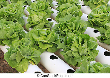 Butter head green oak lettuce, Organic hydroponic vegetable cultivation farm.