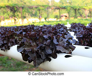 Butter head red oak lettuce, Organic hydroponic vegetable cultivation farm.