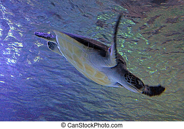 Green sea turtle swim underwater.It is the largest hardshell...
