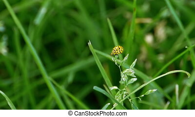A yellow ladybird (Psyllobora vigintiduopunctata) taking off...