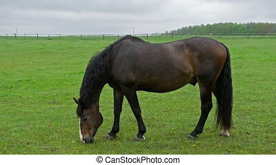 Stallion horse pasturing on fenced meadow - Beautiful...