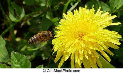 Honey bee gathering pollen FULL HD - Honey bee hovering and...