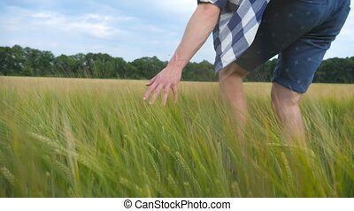 Male hand moving over wheat growing on the field. Meadow of green grain and man's arm touching seed in summer. Guy walking through cereal field. Slow motion Close up