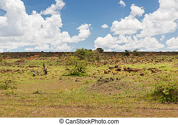 impala or antelopes grazing in savannah at africa - animal,...