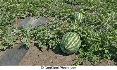 Watermelon fruit plant in field, early summer, 4K footage
