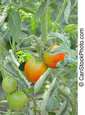 Unripe tomatoes in greenhouse - Macro unripe tomatoes in...