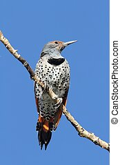 Northern Flicker (Colaptes auratus) Red-shafted on a branch...