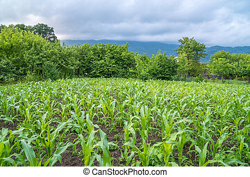 Small corn field agriculture. Green nature. Rural farm land...