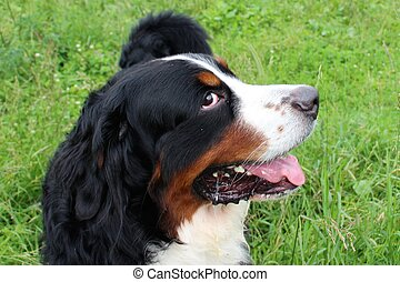 Really Beautiful Bernese Mountain Dog.
