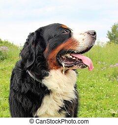 Really Beautiful Bernese Mountain Dog.