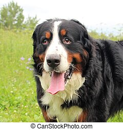 Bernese mountain Dog walking on the forest paths.