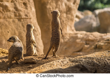 Two alert Meerkats standing looking at the horizon on guard, curious gesture
