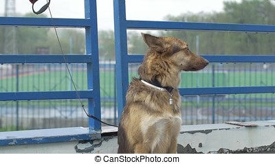 Lonely tied dog waiting for its master. Beautiful brown dog...