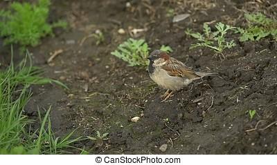 Sparrow flies away. Promise of Spring HD