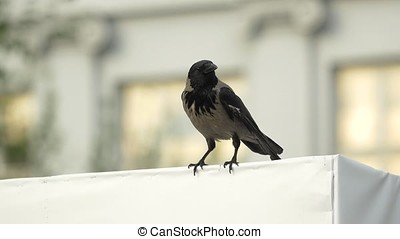 a crow is sitting on a Billboard and then flies away. Hooded Crow Flying in the Sky with Wings Spread