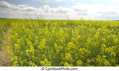 landcape view of beautiful rapeseed field - beautiful...