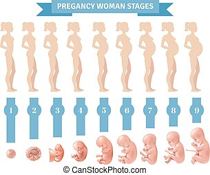 Pregnancy Woman Stages Vector Illustration - Pregnancy woman...