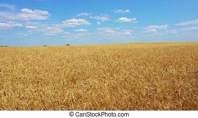 flying over golden wheat field video - flying over golden...
