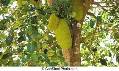 Jackfruit on the tree. - Jackfruit Tree and young...
