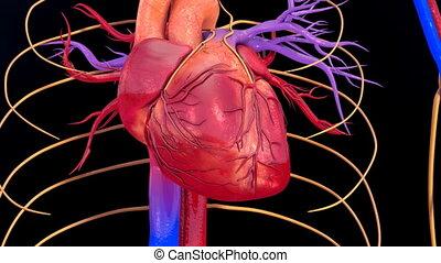 Human Heart beat - Heart beat
