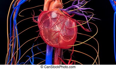 Blood circulation in heart