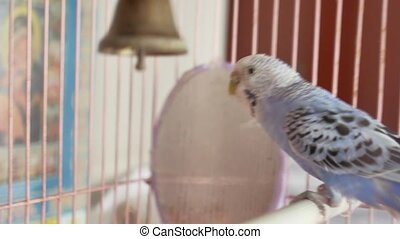 blue budgerigar going out of his cage - budgerigar going out...