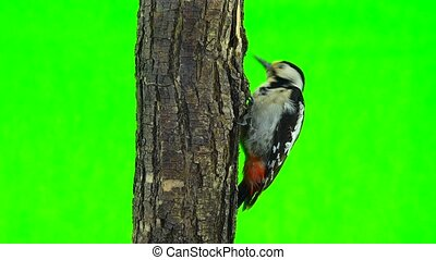 Great Spotted Woodpecker (Dendrocopos major) isolated on a...